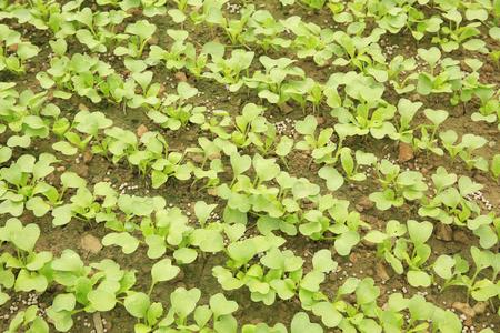 raddish: raddish sprouts in growth at garden