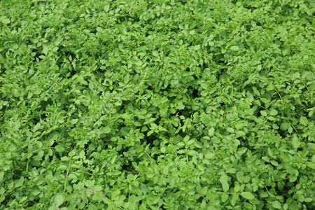 berros: plantas de berro