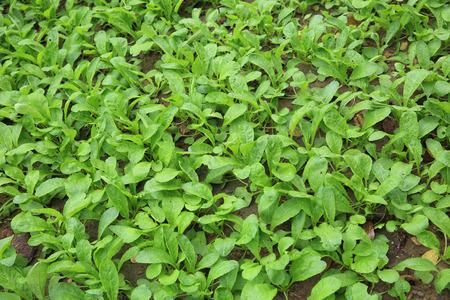 raddish: green raddish plants in growth at vegetable garden