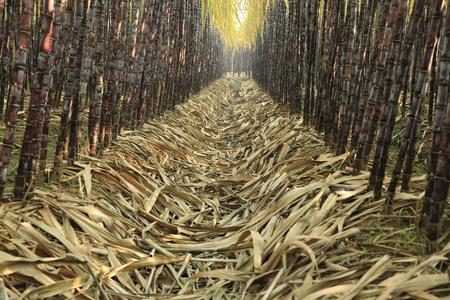 sugarcane: sugarcane in growth at field