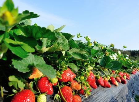 strawberry field Standard-Bild