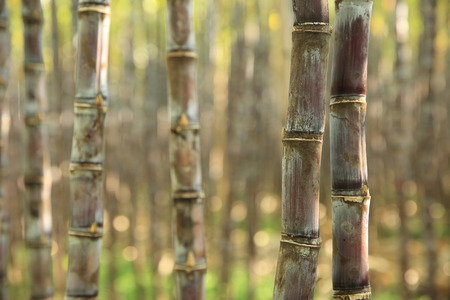sugarcane: sugarcane  Stock Photo