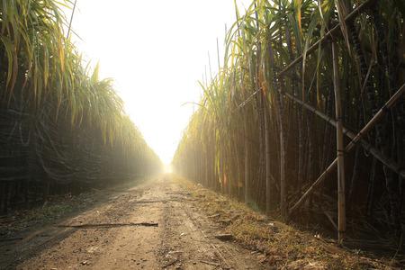 sugar cane farm: sugarcane in growth at field