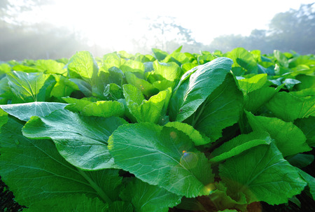 mustard leaf: Green leaf mustard in  vegetable garden