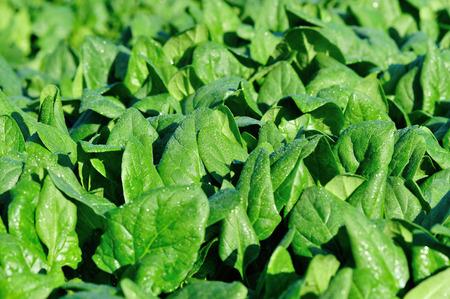 spinach: espinaca verde en el crecimiento en el huerto
