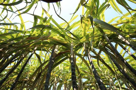 sugar cane farm: sugarcane grow in field