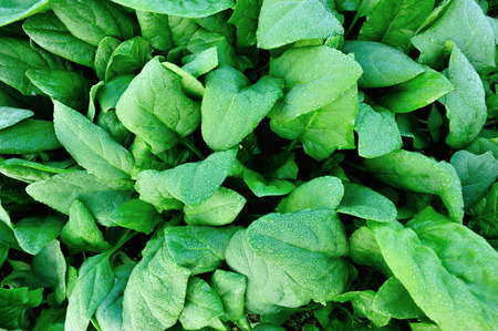 spinage: green spinach in  vegetable garden