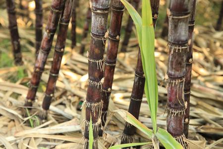 sugar cane farm: sugarcane closeup Stock Photo