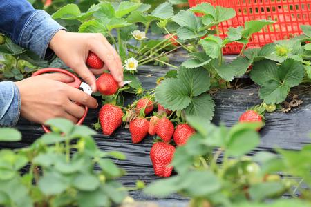 庭でイチゴを摘んでください。 写真素材