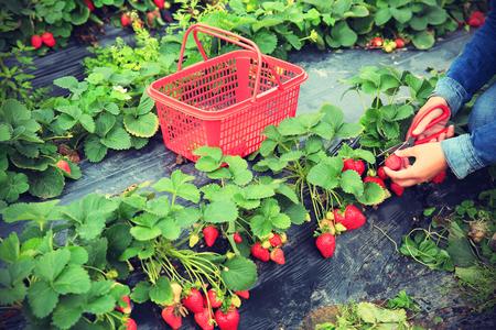 fresa: frutos de fresa en el crecimiento en el jardín