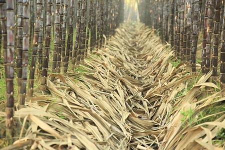 sugar cane farm: sugarcane field