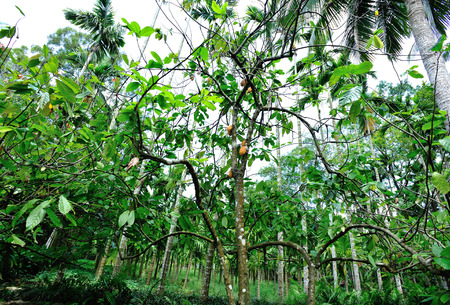 tropical tree: cacao fruit grow on tree