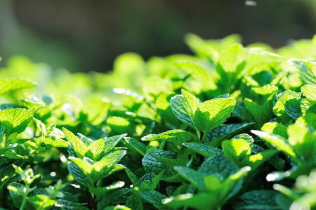 légumes vert: menthe plante croître à potager
