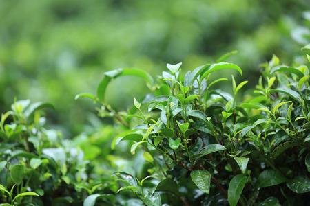 tea trees: tea trees in growth at garden Stock Photo