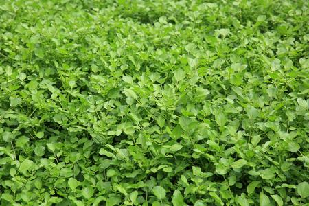 berros: plantas de berro en el crecimiento en el jardín
