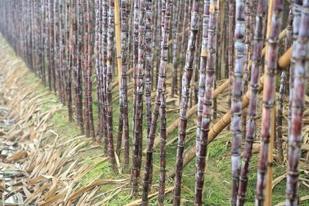 sugar land: sugarcane plants in growth at field