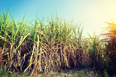 blue sky and fields: sugarcane plants in growth at field