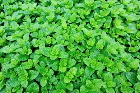 green fields: mint plant grown at vegetable garden Stock Photo