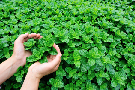 munt plant groeien in moestuin Stockfoto