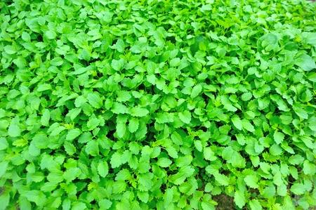herba: motherwort plants in vegetable garden