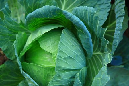 green cabbage: green cabbage in   vegetable garden