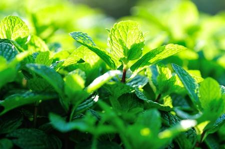 hierba buena: mint plant grow at vegetable garden