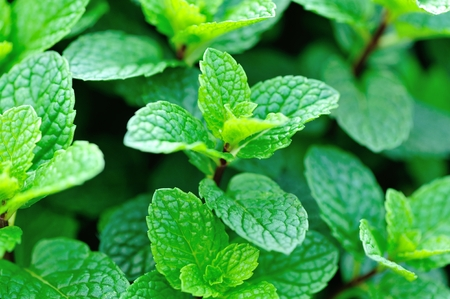mint plant grow in vegetable garden