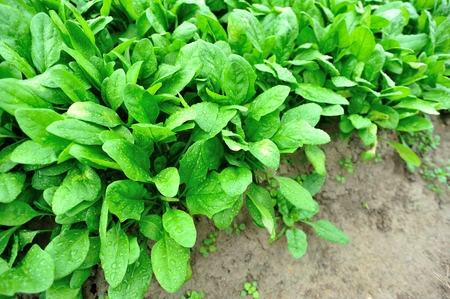 spinage: green spinach grow in vegetable garden
