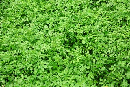 berro: plantas de berro
