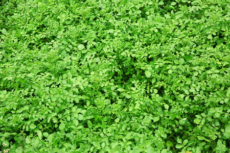 watercress: watercress plants Stock Photo