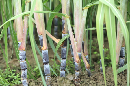 sugarcane: sugarcane grow in field