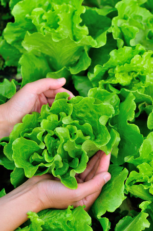 protect: hands protect lettuce plants