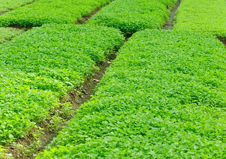 herba: bed of motherwort plants
