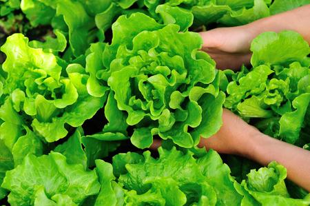 vrouw handen plukken groene sla in moestuin Stockfoto