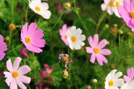 Beautiful cosmos flowers blooming