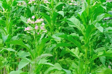 tobacco leaf: tobacco leaf plant