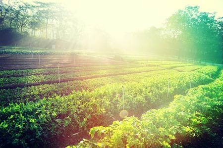 verduras: guisantes y apio plantas verdes en crecimiento en el huerto