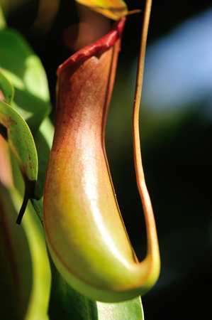 pitcher: nepenthes villosa - pitcher plants