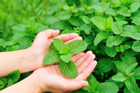 green plants:  mint plant on hand