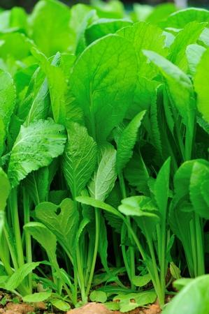 mustard leaf: green leaf mustard plants in growth at garden