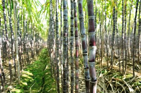 sugar land: sugarcane plants grow in field