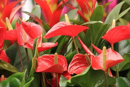 botanic: red anthurium flower in botanic garden anthurium andraeanum, araceae orarum