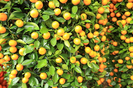 cumquat: citrus fruits grow on tree