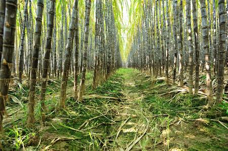 sugarcane: sugarcane plants grow in field
