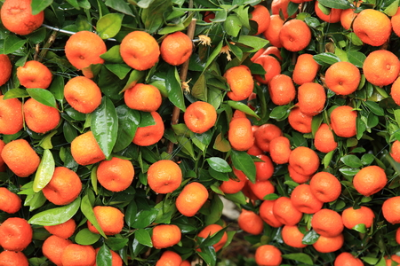 cumquat: citrus orange grow on tree