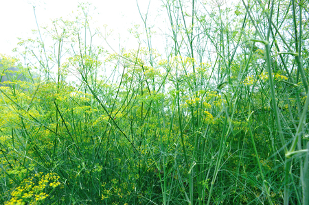 foeniculum: Fennel (Foeniculum vulgare) in growth at garden Stock Photo