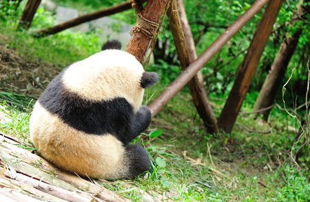 endanger: giant panda at chengdu, china