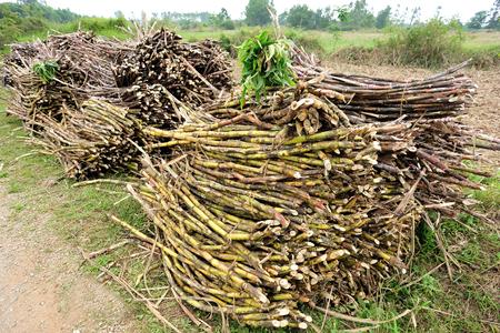 fibrous: Sugarcane harvest