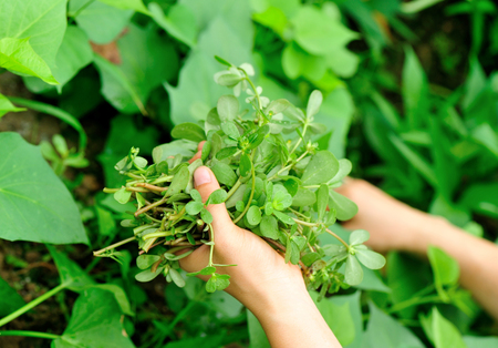 herba: woman hands picking herb at garden Stock Photo