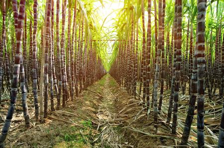 suikerriet in de groei op het terrein